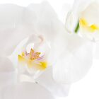 white orchids by neatfoto