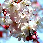 Blossoms of Cherry by Kate Eller