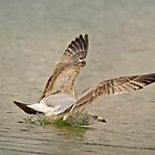 Ring-billed Gull (1st winter) Makes a Cold Landing by KatMagic Photography