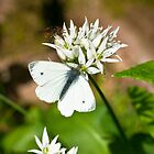 Animal, Butterfly, Green veined White, (Pieris napi), feeding by Hugh McKean