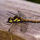 Dragonfly, Common Darter, Sympetrum striolatum, female by Hugh McKean
