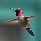 Anna's Hummingbird by jasonsax