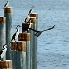 cormorants convention by SUBI