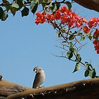 Bougainvillea Birdy by DoreenPhillips