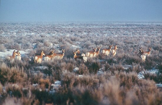antelope... by Allan  Erickson