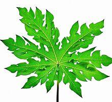 Knockedout Papaya Leaf  by Horst Dammer