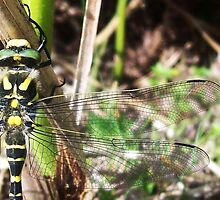 Golden-Ringed Dragonfly by caledoniadreamn