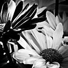 Daisys in B&W by Theodore Black