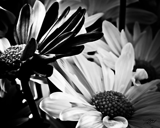 Daisys in B&W by Theodore Black