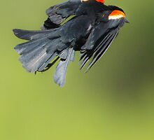 Red-winged Blackbird by PixlPixi