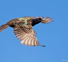 European Starling by Michaela Sagatova