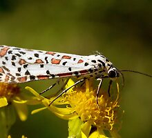 Crimson-Speckled Footman by Robyn Carter