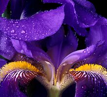 Purple Bearded Iris #684 by ©  Paul W. Faust