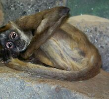 Monkey at Como Zoo by Nora Caswell