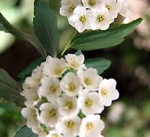 Little Whtie Flowers by TLouise92