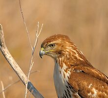 Pensive - Juvenile Red-tailed Hawk by rafton
