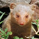 Common Dwarf Mongoose, Serengeti National Park, Tanzania by Adrian Paul