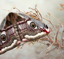 Emperor moth by jimmy hoffman