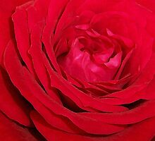 Heart Of A Rose by NatureGreeting Cards ©ccwri