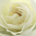 white rose.. by Michelle McMahon