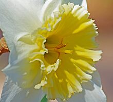Shining Face daffodil photo by Lisa Holmgreen