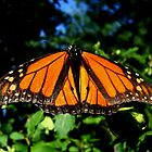 Male Monarch by Sharon Woerner