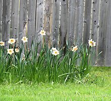 Doffodils along the Fence by Rosalie Scanlon