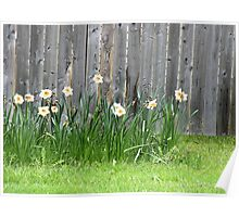 Doffodils along the Fence Poster