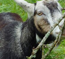 Billy Goat - Just thinkin about you Kid by ArundelArt