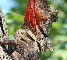 frill neck lizard by robinmaher