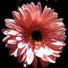 Happy Mother's Day card: gerbera daisy by hummingbirds