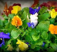 Springtime Pansies by Monica M. Scanlan
