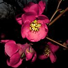 The Lovely Flowering Quince by Kate Eller