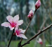 Stages of Spring - Bare Limb, Bud, Blossom by Betty Northcutt
