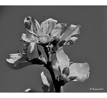 Peach Blossoms In Grayscale Photographic Print