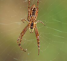 Orb Spider by Ian Creek