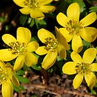 Winter Aconite by Laurel Talabere