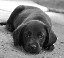Dreamer B/W - Labrador puppy in deep Thoughts by Natasha Von Bujnoch