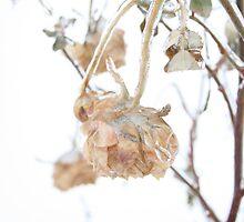 Frozen Rose by Anna Reinalda