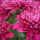 Magenta Mums by Marijane  Moyer