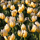 Yellow tulips II by PhotosByHealy
