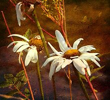 Oversize Daisies by dmacwill