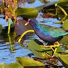 Purple Gallinule  by naturalnomad