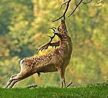 Fallow Stag Scratching by ten2eight