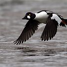 Outgoing / Common Goldeneye by Gary Fairhead