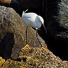Snowy Egret Hunting by Robert H Carney
