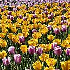 Field of tulips by PhotosByHealy