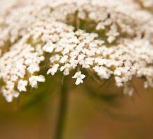 """""""Reminisence of an old lace bonnet"""" - an elder flower by Fineli"""