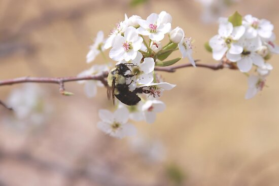 Bumble Bee on Autumn Blaze Pear Flower by Robert Armendariz