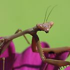 Praying Mantis! by KiriLees